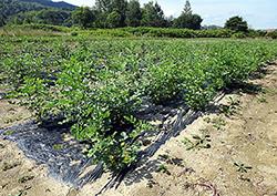 甘草を栽培